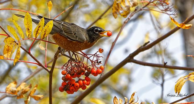 Merle d'Amérique - American Robin - Turdus migratorius