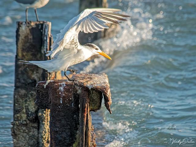 🇺🇸 Royal tern coming into land KW 1185