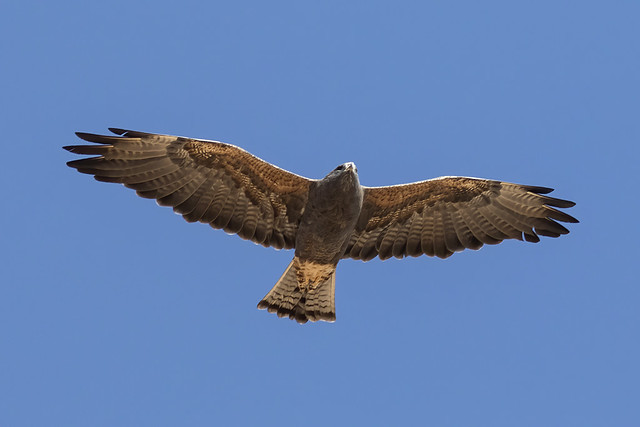 _31A5709 Swainson's Hawk