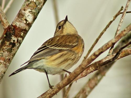 Yellow-rumped Warbler 01-20191223