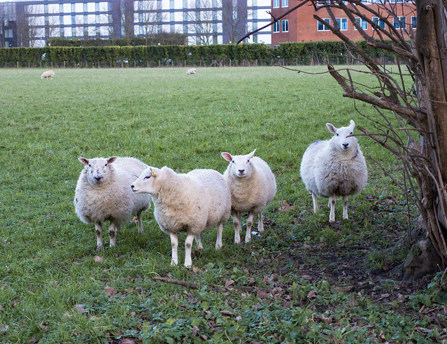 Sheep, Bath Road