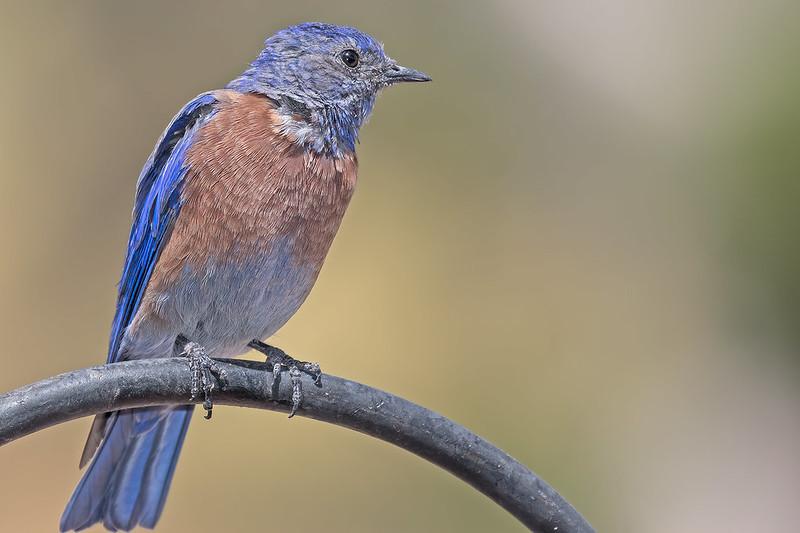 Western-Blue-Bird-39-7D2-082619