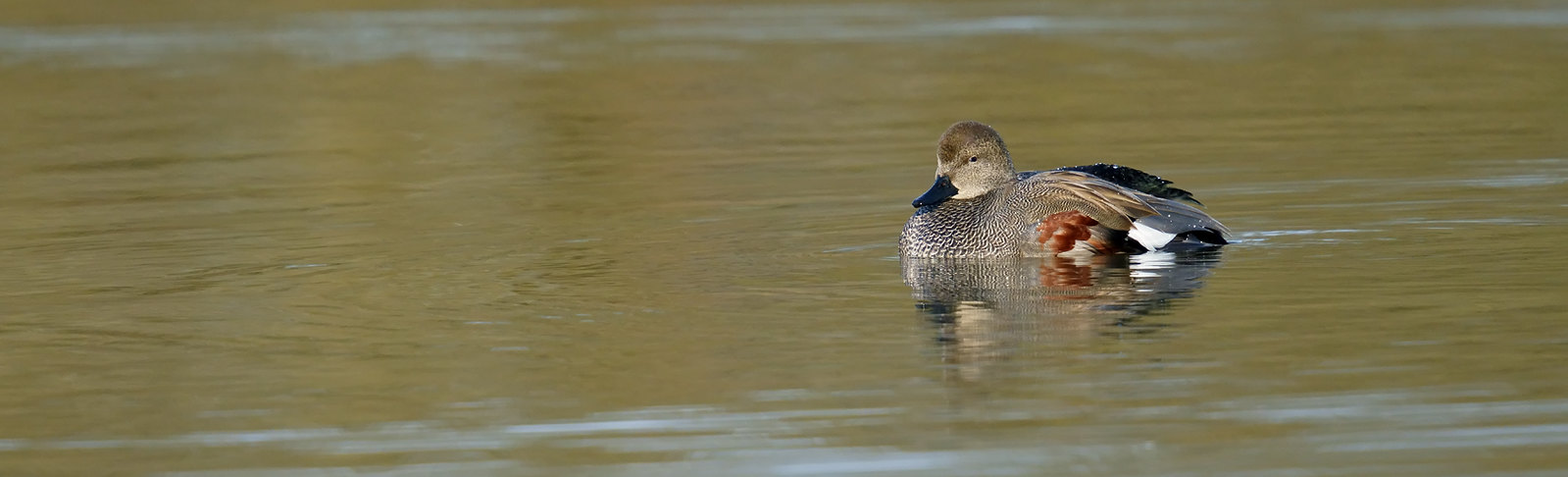 Gadwall [male]