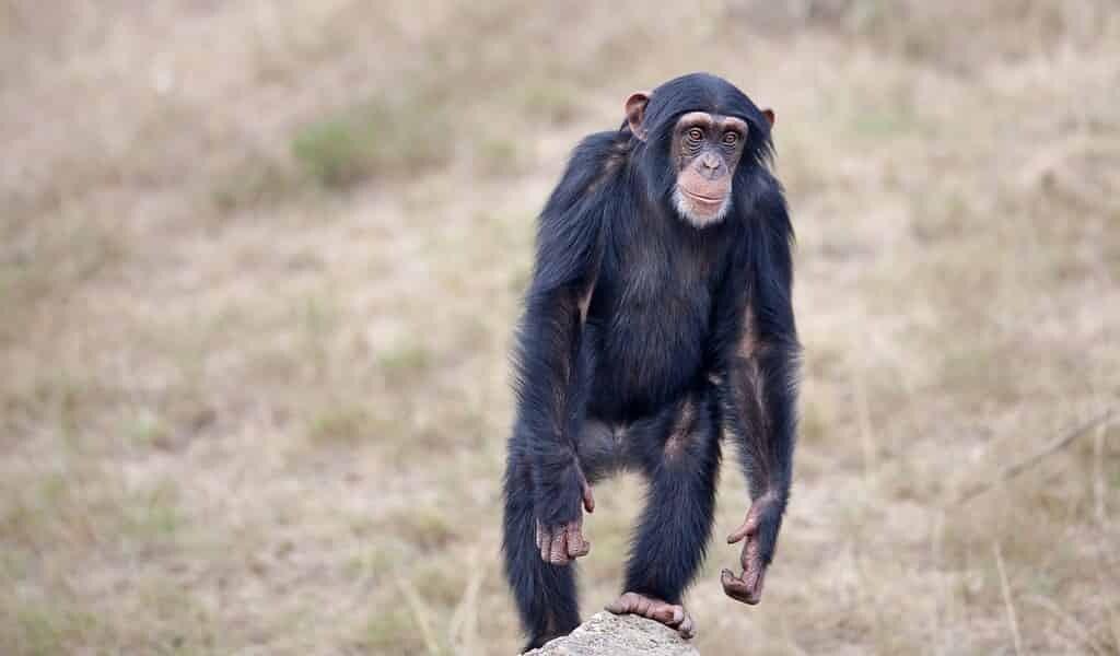 la-danse-des-chimpanzés-pourrait-expliquer-comment-les-humains-ont-commencé-à-bouger-au-rythme-des-sons