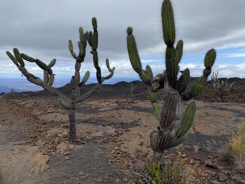 Candelabra Cactus (Jasminocereus thouarsii), Sierra Negra Volcano's Last Eruption site in 2018 at 950 meters (3,116 ft) above sea level, Isla Isabela (Albemarle), the Galápagos Islands, Ecuador.