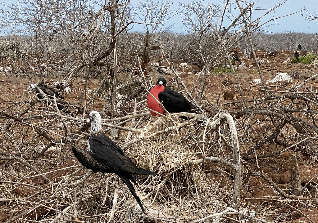 The Magnificent Frigatebird (Fregata magnificens), North Seymour Island, the Galápagos Islands, Ecuador.