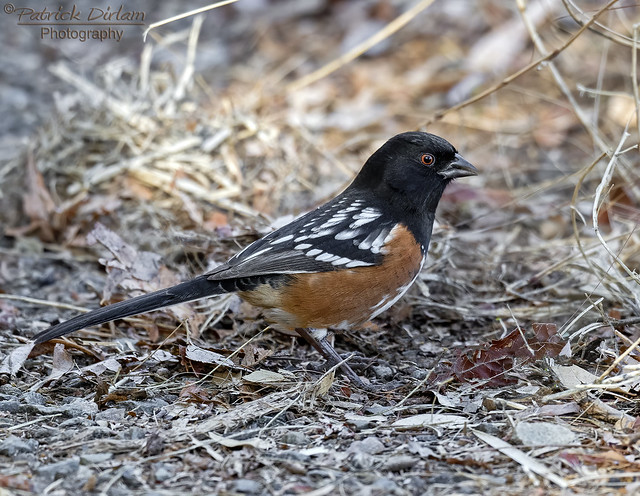Spotted Towhee at Lynx Lake - Explore