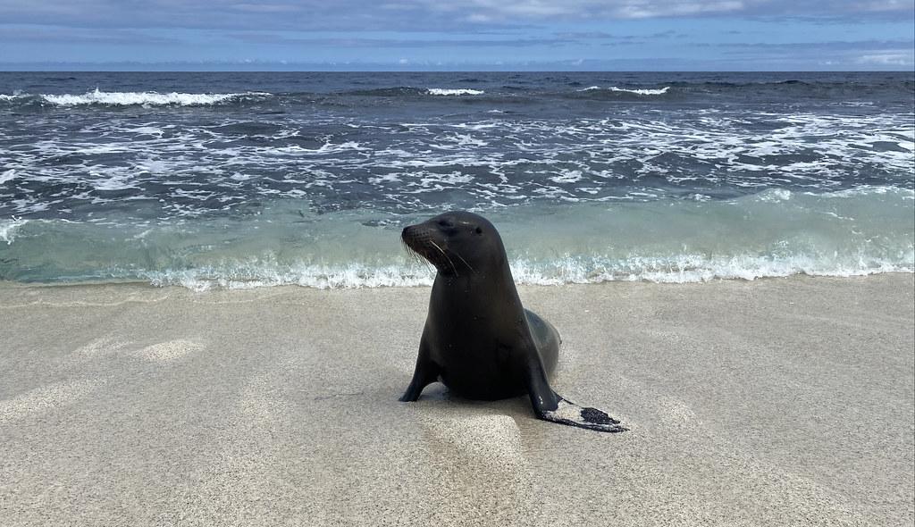 The Galápagos Sea Lion (Zalophus wollebaeki), Mosquera Islet, the Galápagos Islands, Ecuador.