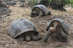 The Galápagos Giant Tortoises (Chelonoidis sp), the Charles Darwin Research Station, Isla Santa Cruz, the Galápagos Islands, Ecuador.