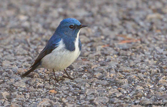 Record shot of Ultramarine Flycatcher - Doi Lang  West, TH