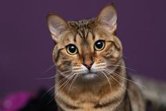cat. tomcat, basket, bengal, purple