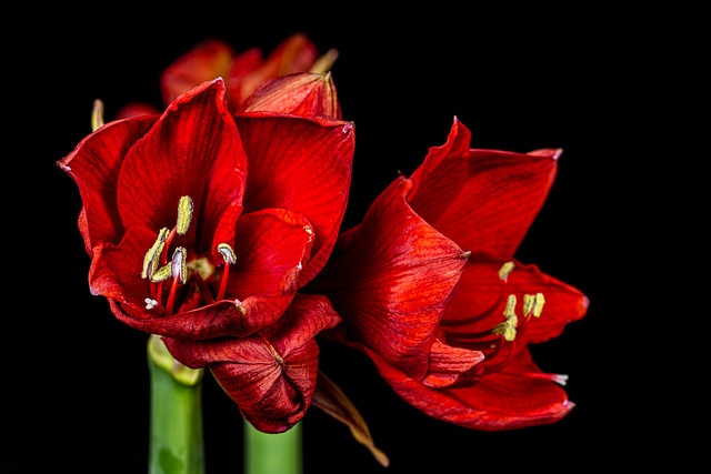 Amaryllis - cultivars of perennial herbaceous plants [Hippeastrinae family] 6M7A8552