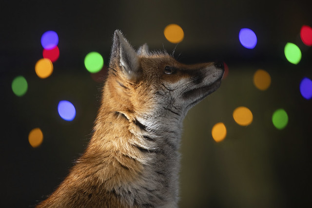 City fox admiring the Xmas lights