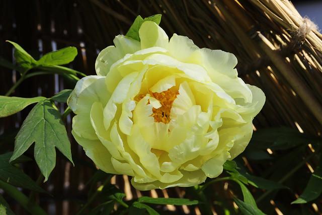 Paeonia suffruticosa var. hiberniflora  フユボタン