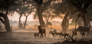 Wild-dogs Mana Pools Zimbabwe-2 | by Juha Soikkeli