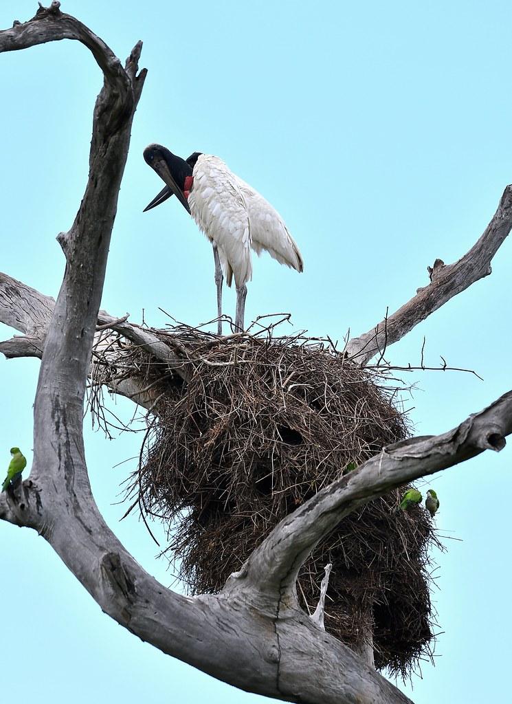 Jabiru nest (with Monk Parakeets)  along the Transpantaneira (road through the Pantanal).