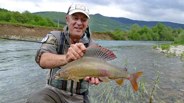 Grayling on dry fly