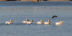 Pod of pelicans and a cormarant