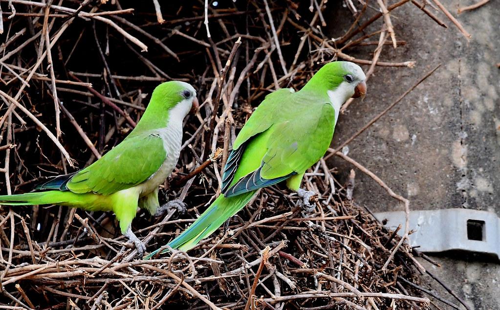 Monk Parakeets nesting along the Transpantaneira - the road through the Pantanal.