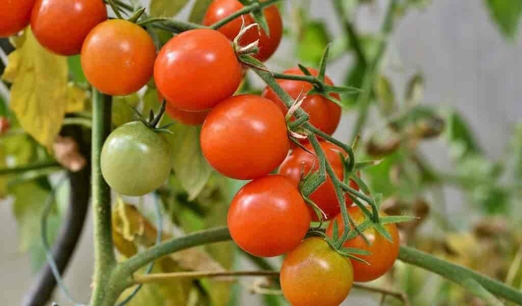 des-tomates-modifiées-pour-être-plus-compactes