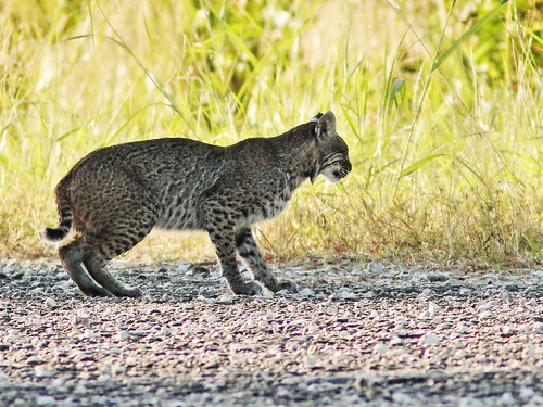 Bobcat 05-20191224