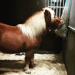 Utfodring av djuren på grannskapets 4H-gård. Här mumsar Amarillo (?) på sin julmat.
