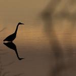 Great blue heron, Devereux Lagoon