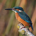 Common Kingfisher - Photo (c) Mark Kilner, some rights reserved (CC BY-NC-SA)