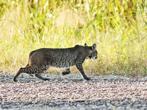 Bobcat 06-20191224