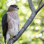 Cooper's hawk, Central Park