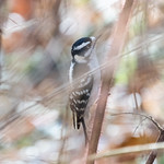 Downy woodpecker, Central Park