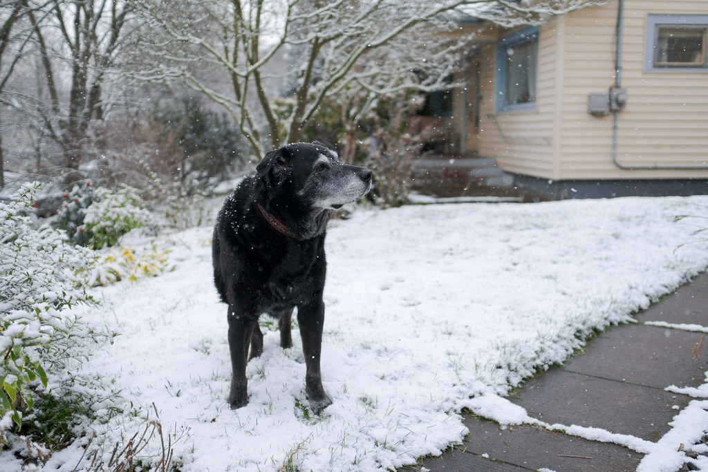 Our dog Ellie looks back towards the house as the snow falls in our yard in the Irvington neighborhood of Portland, Oregon in February 2018