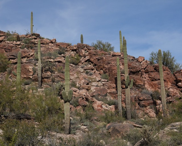 Saguaro Cactus High Among the Red Rocks SR601524