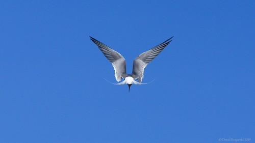 Arctic Tern Hovering 3 | by Photoski141
