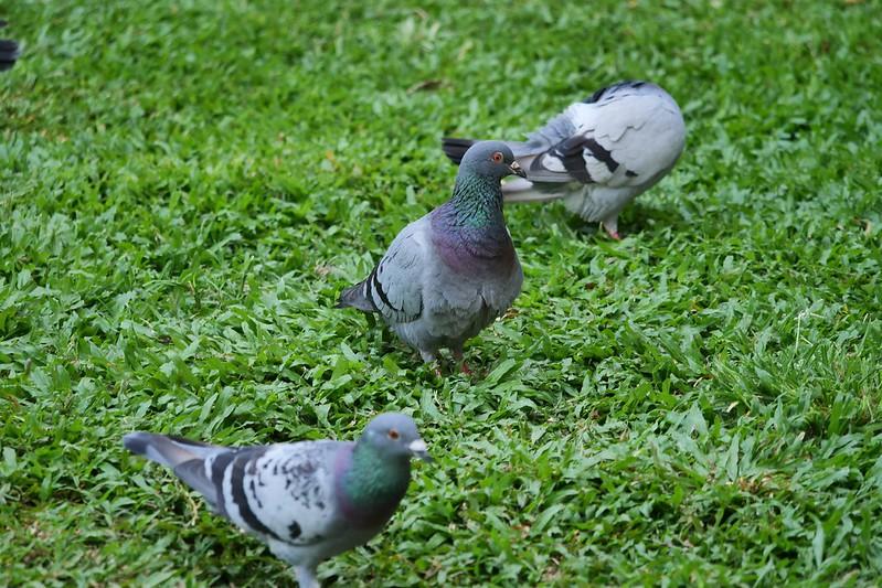 隨處可見的鴿子暗藏衛生危機。圖/陳韋廷提供