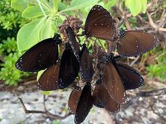 A bunch of butterflies.