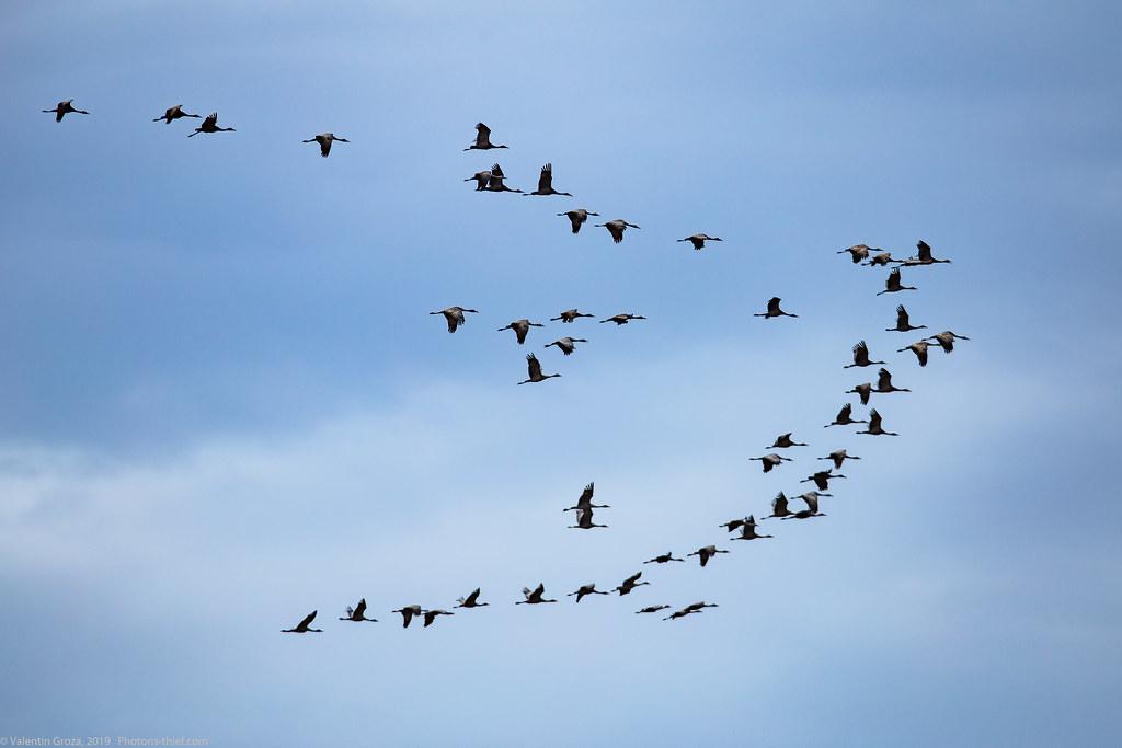 Denali NP 232 sandhill cranes 02 med