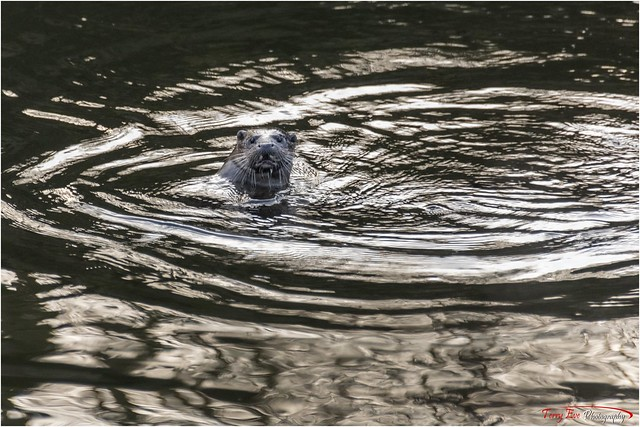 Young Otter_1887a on the River Don Aberdeenshire