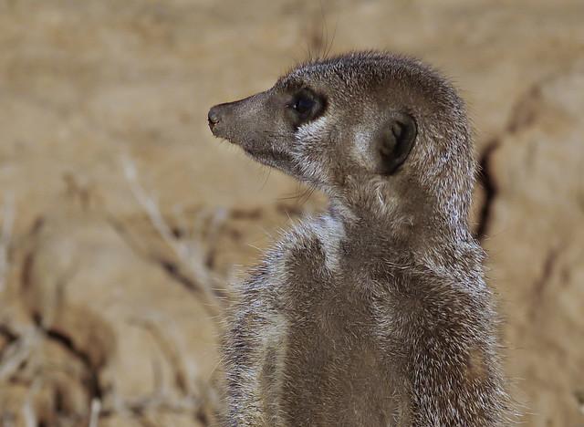 Erdmännchen / Meerkat