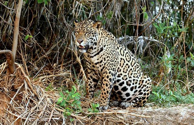 Jaguars in the Pantanal.