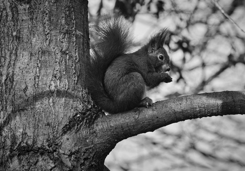 farblos  eichhörnchen in schwarzweiß auf einem baum