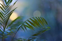 Evening-Palm Christmas