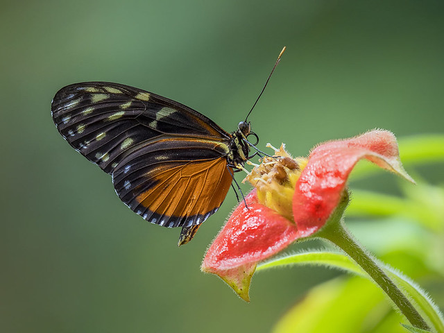 Heliconius Butterfly nectaring on Hot Lips flower, Wings of the Tropics, Fairchild Tropical Botanic Garden.