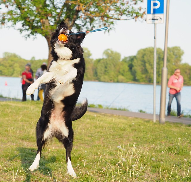 Border Collie playing with a ball beside the River Rhine in Eltville, Germany - 2019