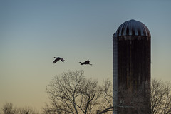 Early morning flight of the sandhill cranes