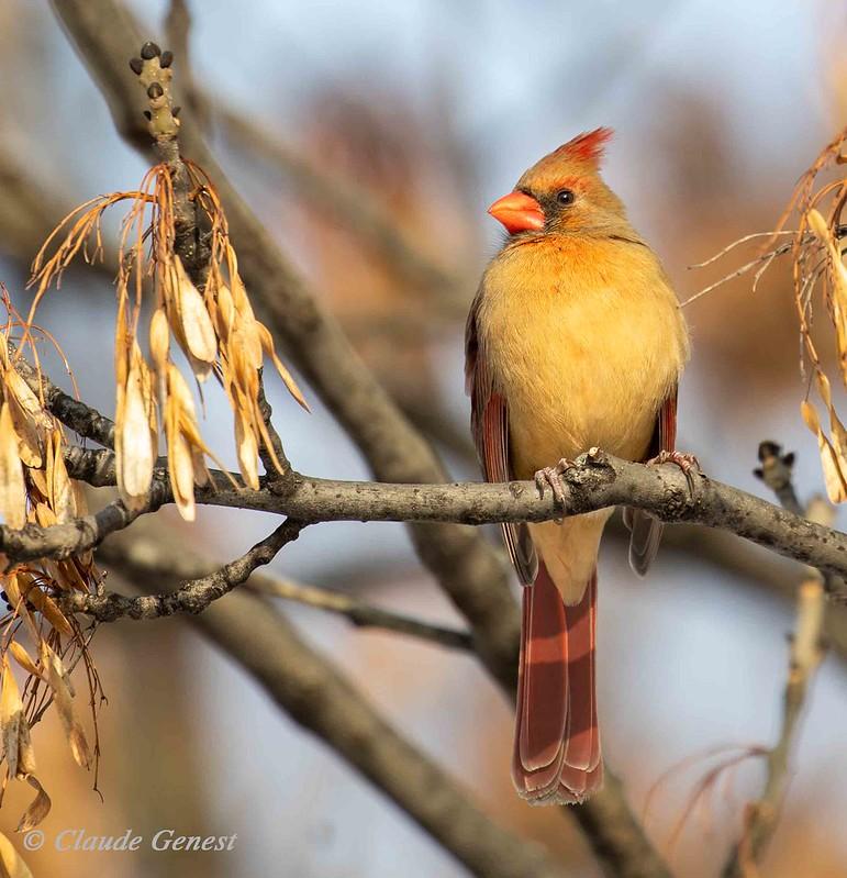 Cardinal rouge ( femelle) 49274721282_1c1fcfbd4d_c