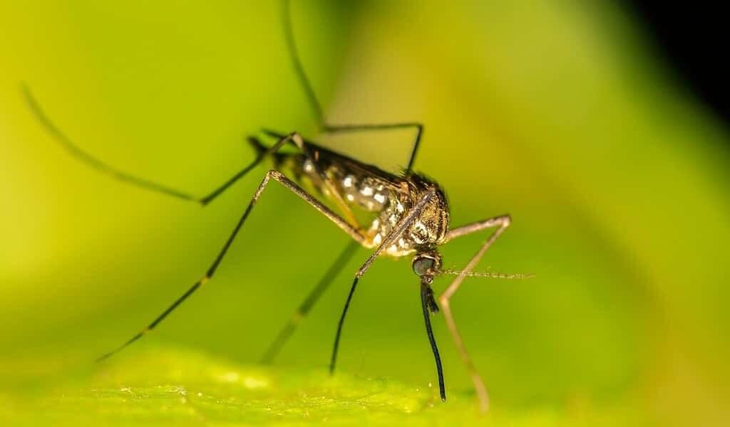 identification-du-mécanisme-qui-permet-aux-moustiques-de-devenir-réstants-aux-insecticides