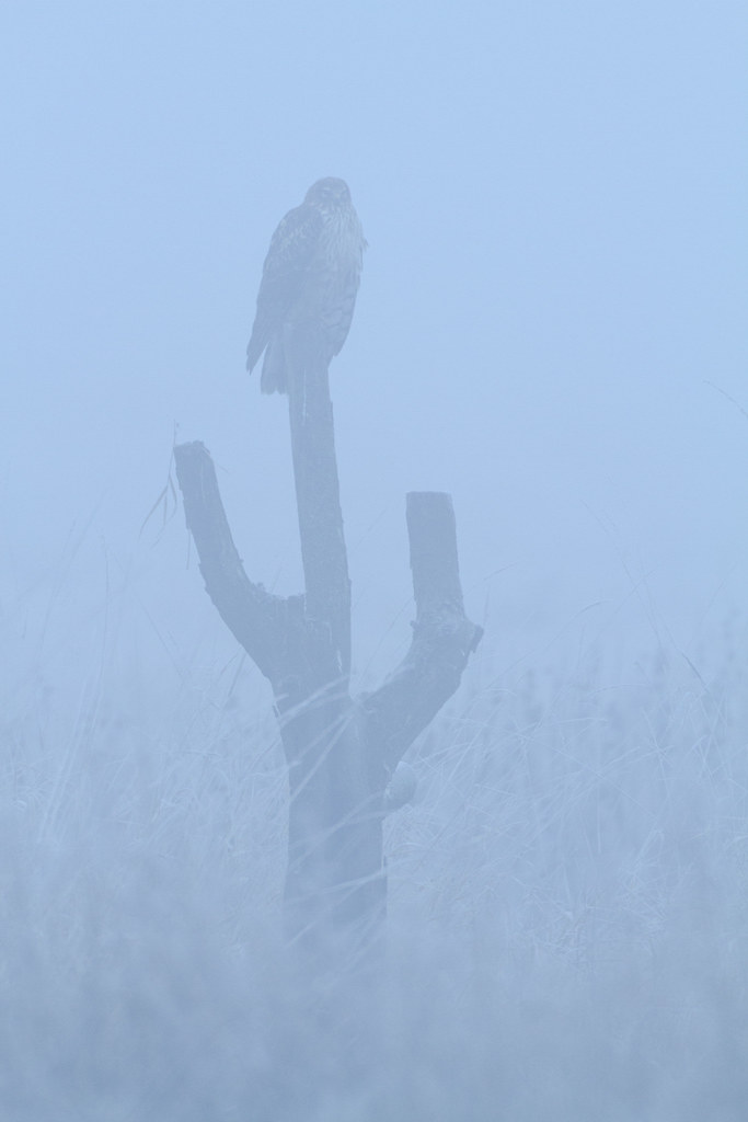 A northern harrier sits on a stump in dense fog, early in the morning before the sun had broken through, taken on the auto tour at the River S Unit of Ridgefield National Wildlife Refuge in Ridgefield, Washington in December 2009