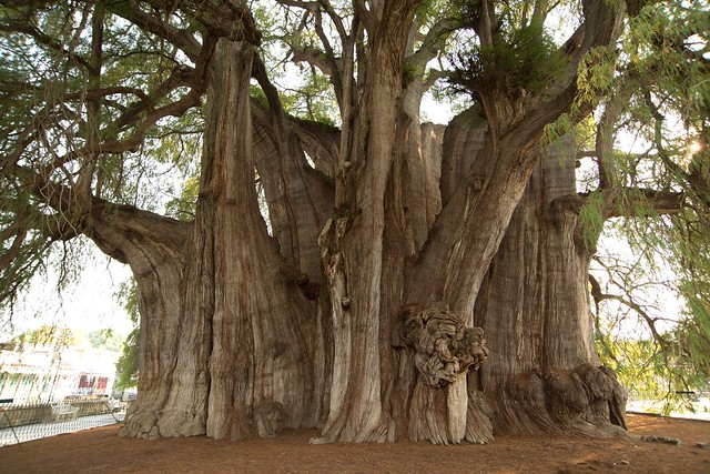Arbol Del Tule, the largest diameter tree on Earth