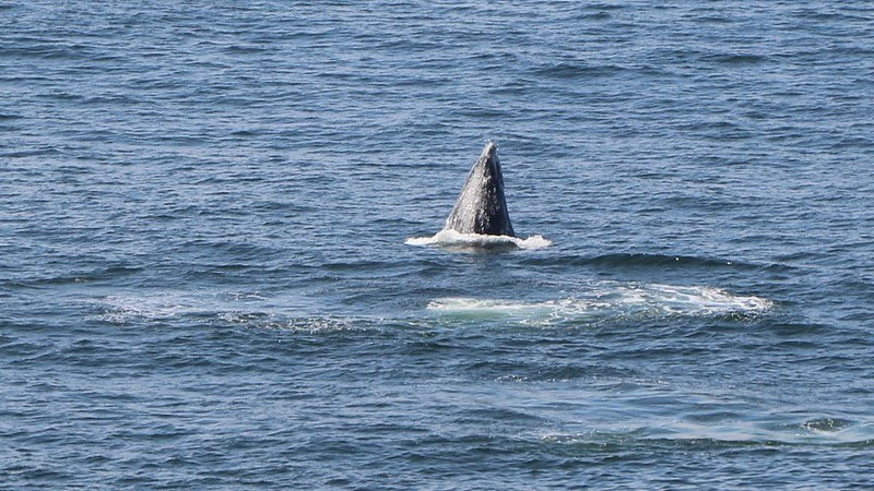 Close-up of a Humpback whale breaching just offshore near Sea Lion Rock on the West Coast Trail